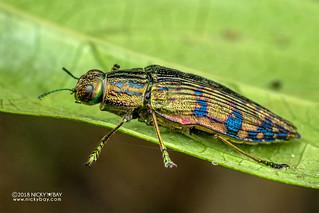 Jewel beetle (Polybothris zivettoides) - DSC_2606