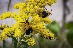 Black and Yellow Lichen Moth