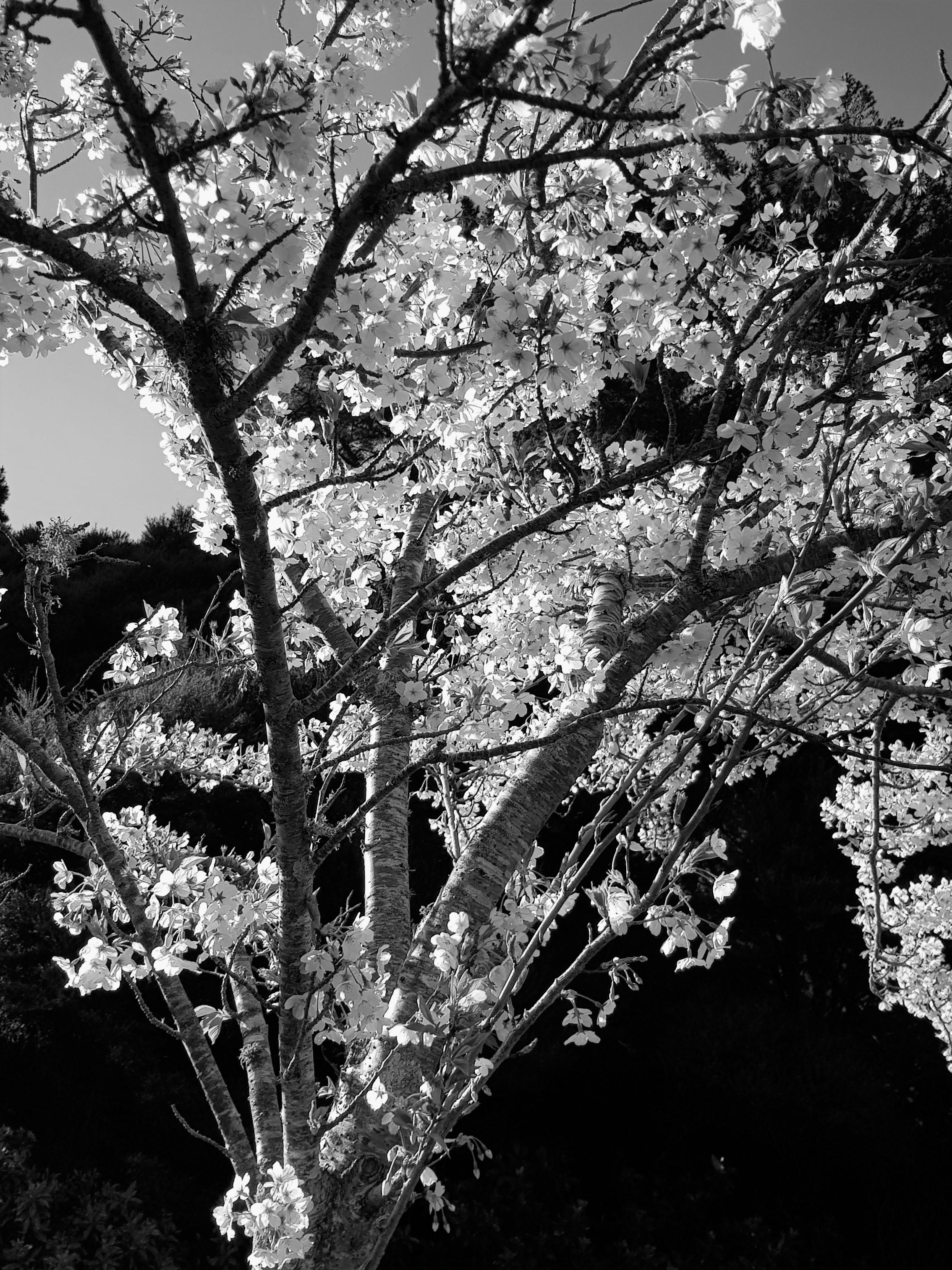 20180922_161341 (Cherry blossom spray)