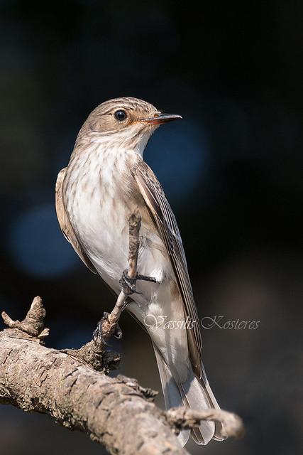 Muscicapa striata, Σταχτομυγοχάφτης, Spotted Flycatcher