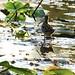 Common snipe : bécassine des marais
