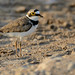 Little ringed plover - Kleine plevier