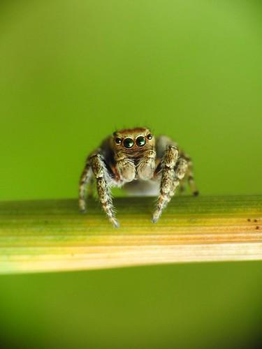 jumpingspider spider hüpikämblik p900 nikoncoolpixp900 raynoxdcr250