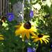 Rudbekia and Geranium