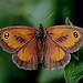 Gatekeeper (Pyronia tithonus)2
