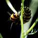 Cinnabar Moth caterpillar 7/7
