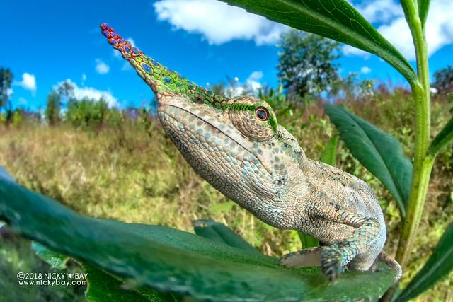 Blade-horned chameleon (Calumma gallus) - DSC_0957
