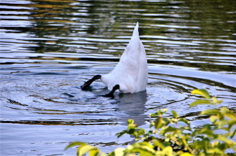Swan 05.09 (7)