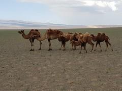 Bactrian camels in the Gobi Desert, Mongolia (17)