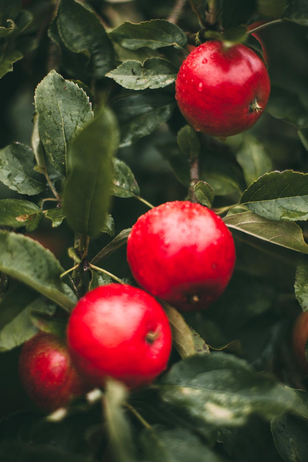 cath kidston apples-33