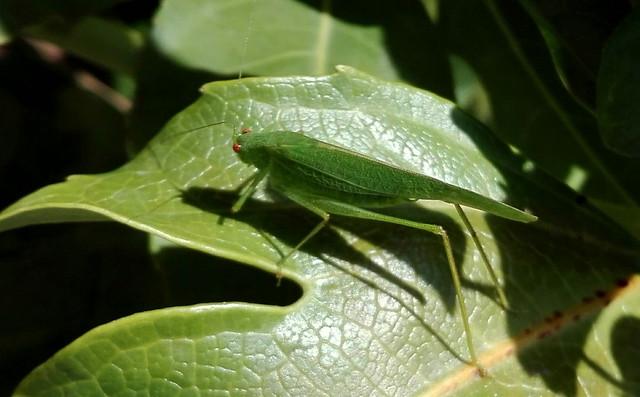 grillo verde