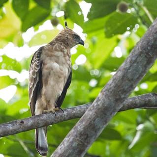 Wallace's Hawk-eagle (juvenile)