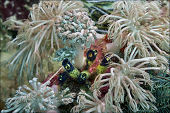 Ascidia Clavelina (what kind of?) among soft coral Heteroxenia fuscescens