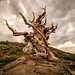 Golden Ratio Ancient Bristlecone Pines! Sony A7RII Elliot McGucken Fine Art Landscape Photography!