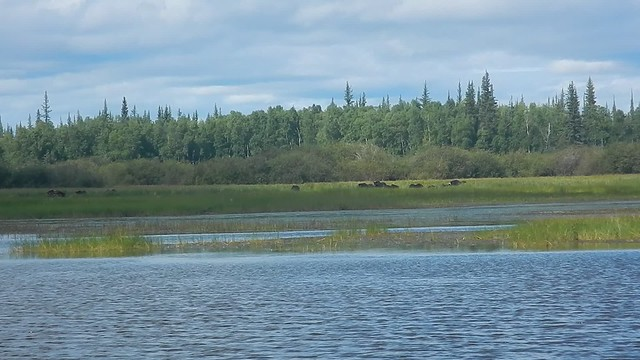 Driving up to a trap site located near the old Willow Lake cabin site. Muskox grazing on the edge of Willow Lake, NT, Canada. August 2018. Video Credit: Steve Olson, USFWS