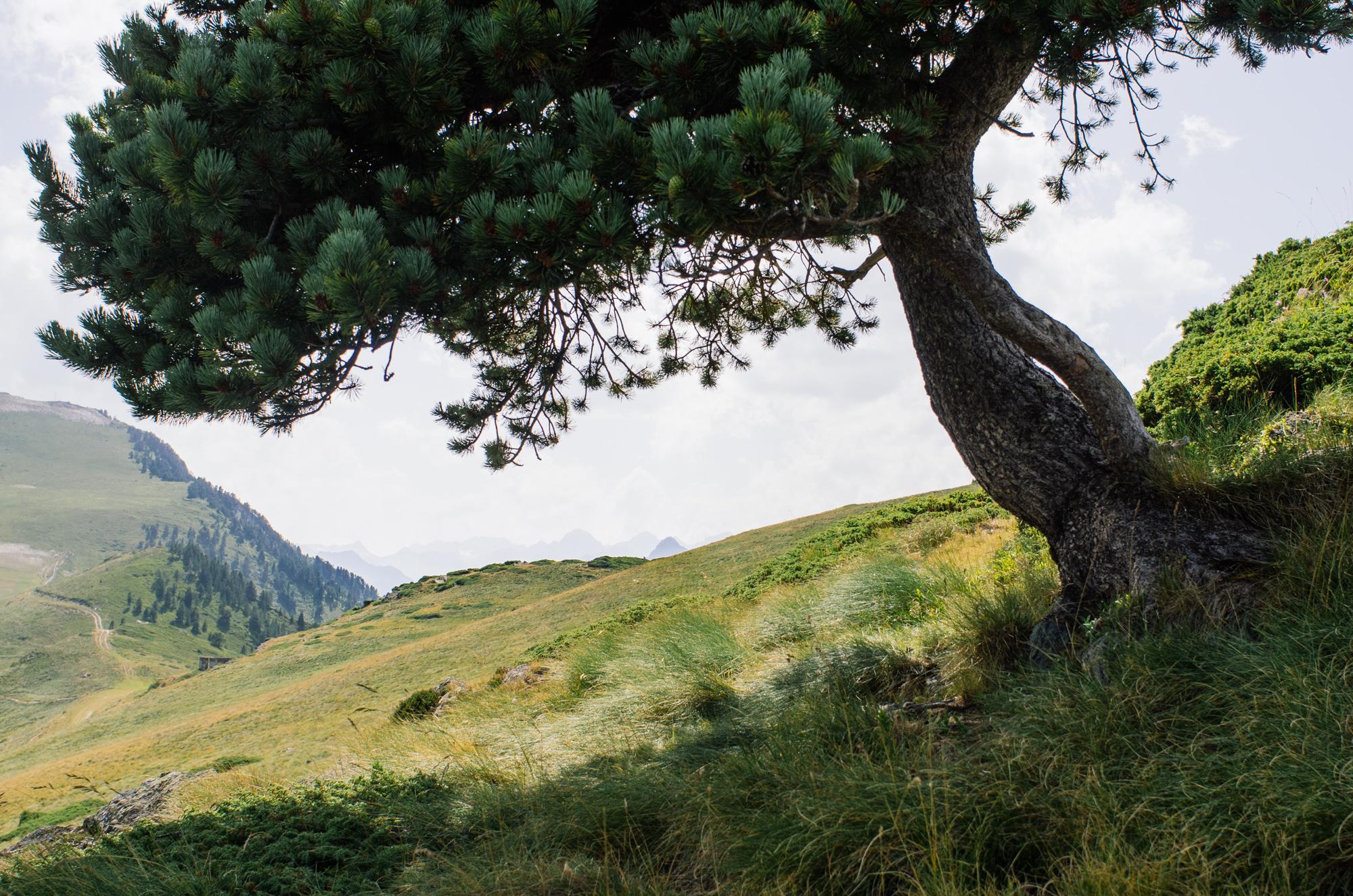 Road-trip en France - Pin des Pyrénées