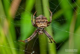 Orb weaver spider (cf. Gea sp.) - DSC_7979