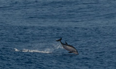 Only Sighting of Dolphins in 3 Days ...