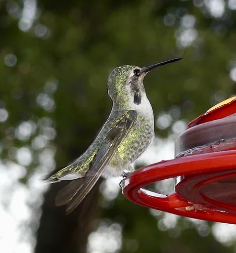 feeder food eating perched bird hummingbird costas costashummingbird 500 views