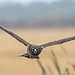 Juvenile Northern Harrier (Circus cyaneus) by Don Delaney