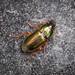 Carabid Beetle sp. - Harpalus affinis