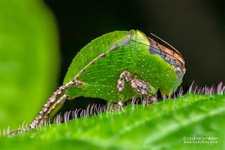 Katydid (Tettigoniidae) - DSC_2867