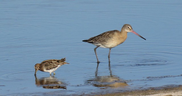 Snipe & Black-tailed godwit