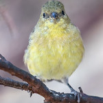 Lesser Goldfinch♀