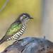Shining Bronze-Cuckoo by 0ystercatcher