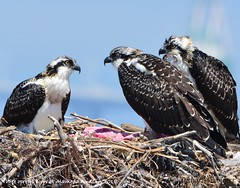 Three osprey fledglings at Alameda Point 2018