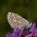 Common Blue 1140062