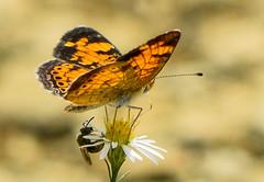 pcrescent bee