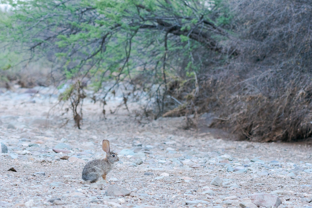 An environmental portrait of a desert cottontail sitting in Apache Wash in Phoenix Sonoran Preserve in Phoenix, Arizona