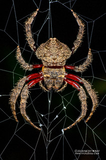 Broad-headed bark spider (Caerostris almae) - DSC_8897b