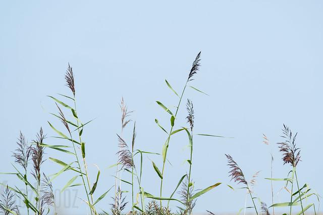 Grasses, Fujifilm X-T2, XF50-140mmF2.8 R LM OIS WR + 1.4x