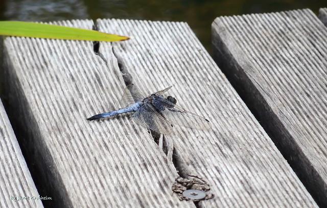 Blue dragonfly, Sony DSC-HX7V