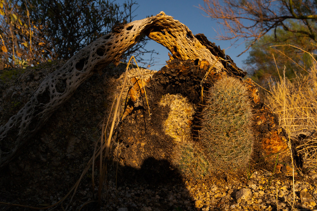 A pincushion cactus grows next to a dead teddy bear cholla near the Amphitheater in McDowell Sonoran Preserve