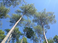 Forêt landaise (40 - France)