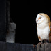 Owl in a Barn