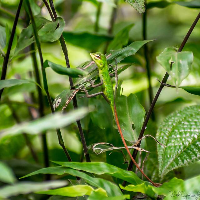 Oriental Garden Lizard Probably, Nikon D7200, Sigma 70-300mm F4-5.6 DG OS