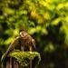 UN FALCO    ----    HAWK by Ezio Donati is 
