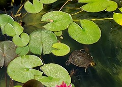A turtle in our pond