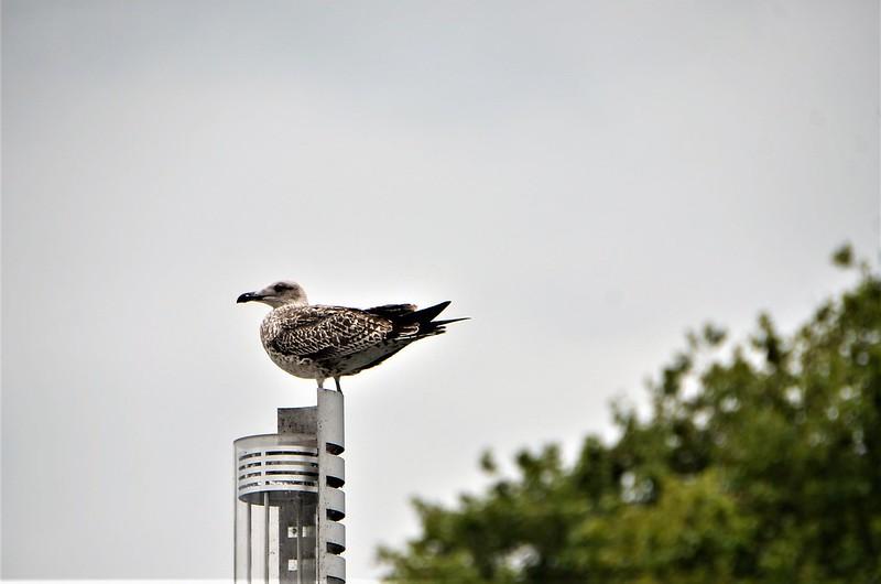 Gull 02.09 (3)