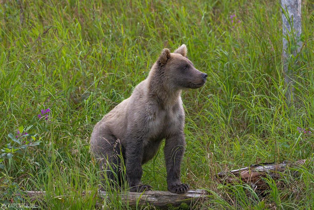 Young bear watching - Alaska