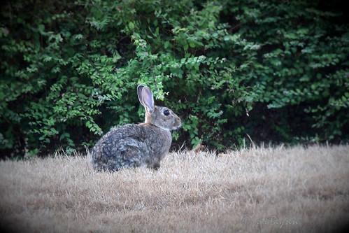 0099 Wild konijn