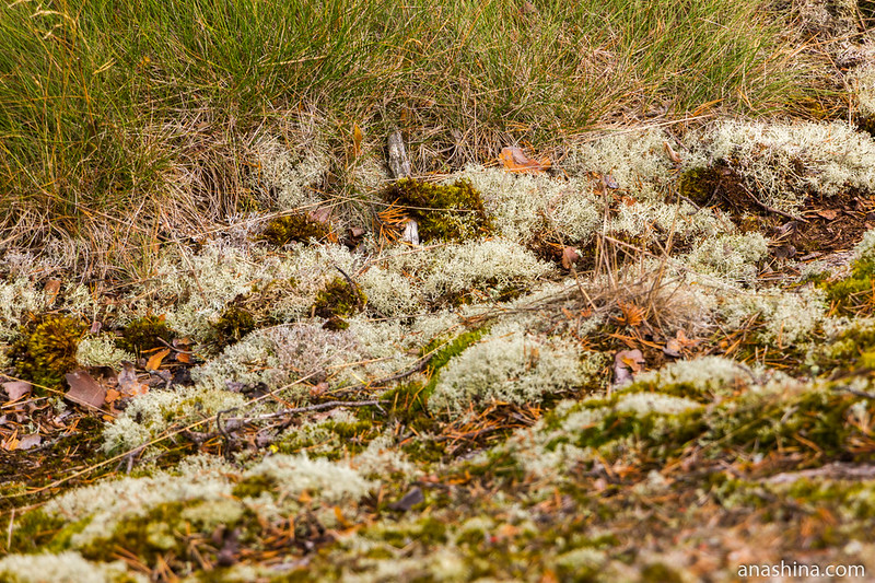 Мхи и лишайники, Ладожское озеро