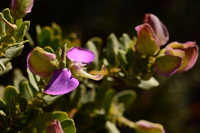 Polygala myrtifolia, Nikon D7100, AF Micro-Nikkor 60mm f/2.8D