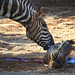 Los cuidadores de BIOPARC Valencia salvan a una cebra recién nacida de morir ahogada