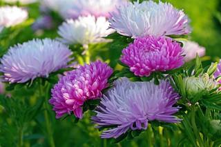 cvety-astry-osen-makro-970963