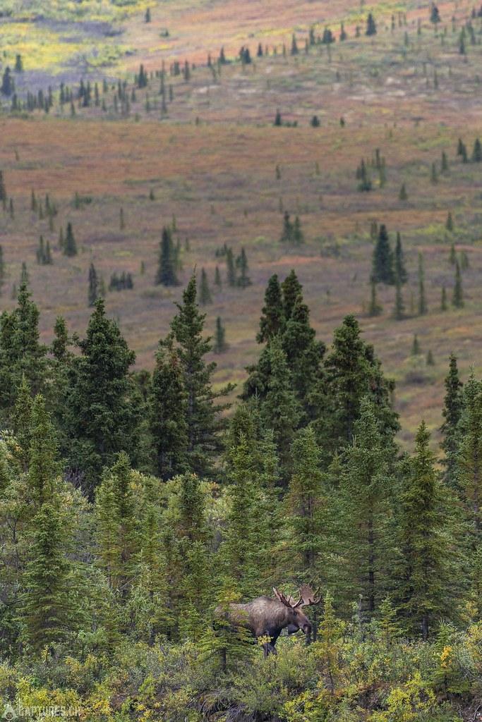 Bull moose - Alaska
